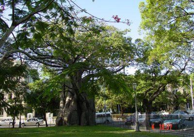 De oude Baoab boom in het Parque do Conde da Boa Vista